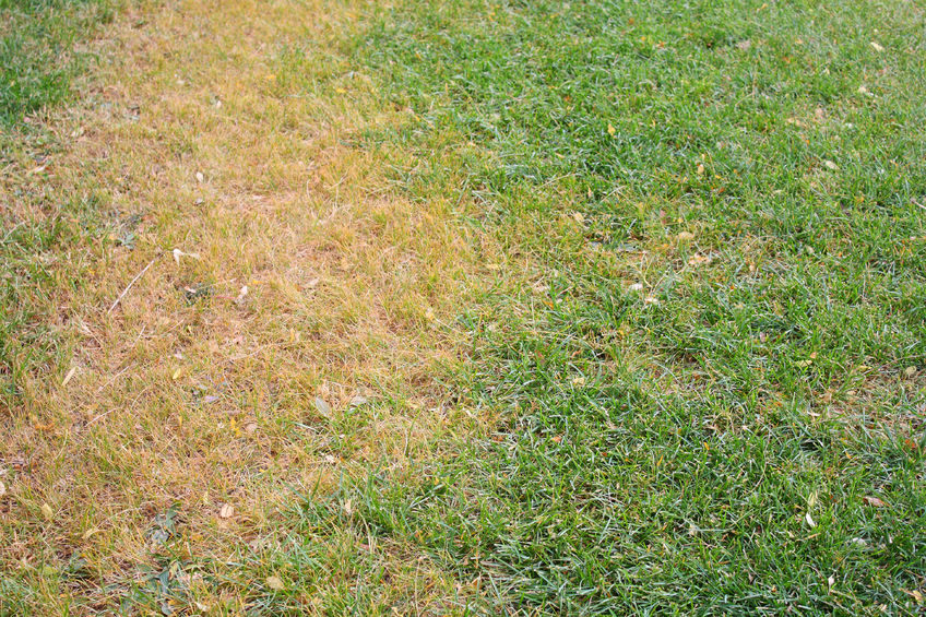 brown spots an dead grass requiring lawn care